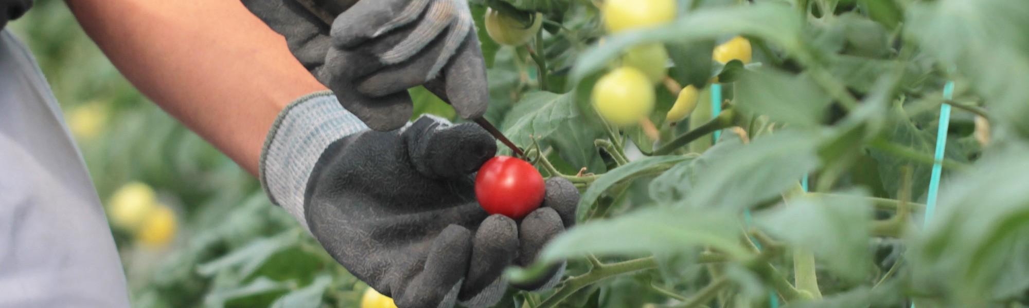 栽培のこだわり・収穫カレンダー