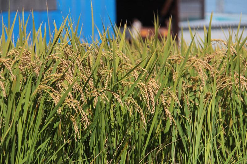 米にかける想い