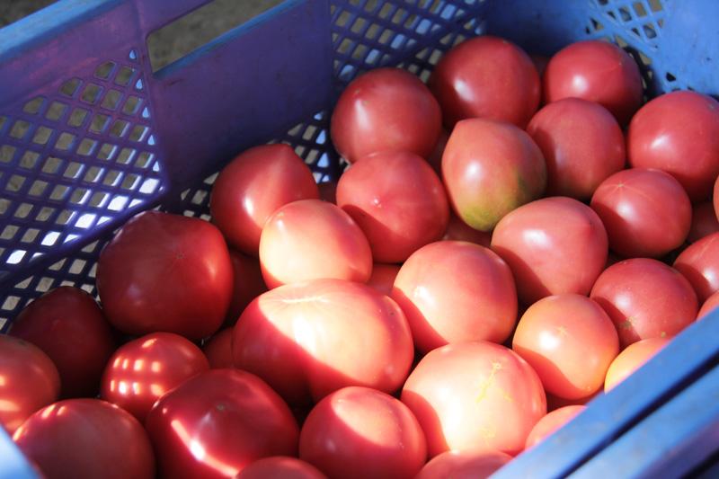 採れたてのトマト(大玉)