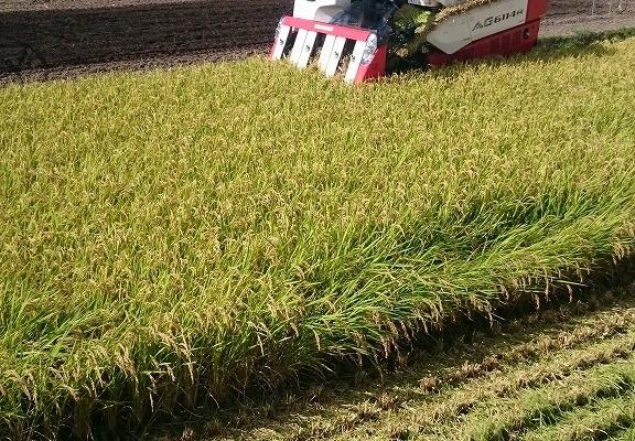 うるち米刈取り